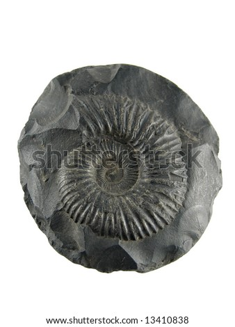 Fossilized ammonite shell, saligram stone
