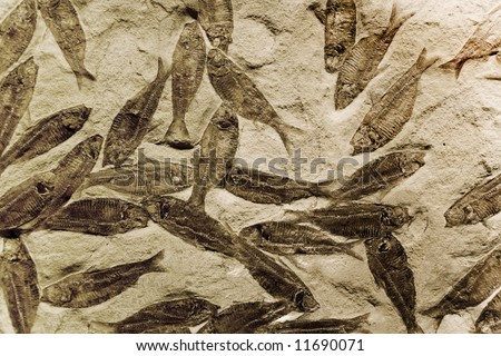 fossilized fish in rock