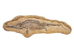 fossilized skeleton cub ichthyosaur Stenopterygius Quadriscissus