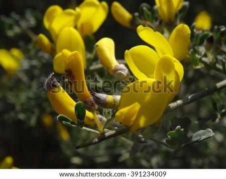 Flores Silvestres Amarillas