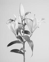 Fotografía de flores en blanco y negro.