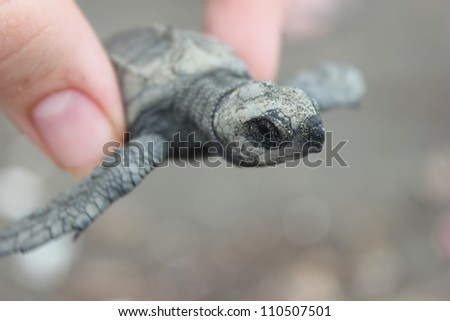 Found on the beaches of Playa Ostional on the Pacific side of Costa Rica, this baby sea turtle is one of thousands to make the long trek from an on-shore nest to the sea. - stock photo