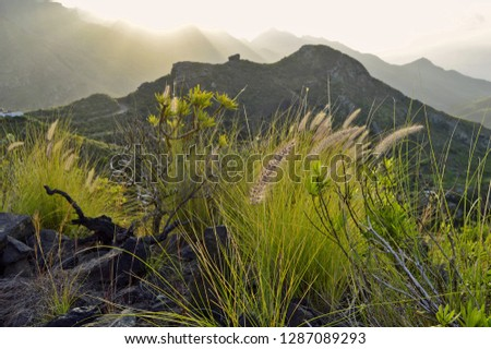 Fountain grass (Pennisetum setaceum), lush vegetation grows in volcanic soil of Anaga mountains in the northeast of Tenerife Canary Islands Spain.