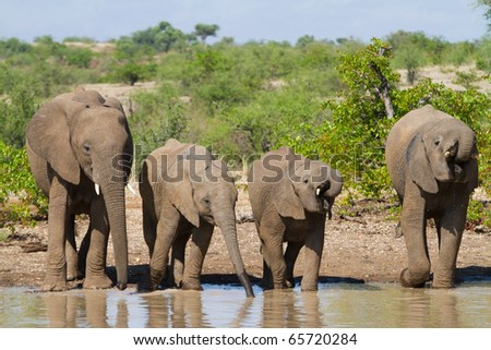 Four African Elephants drinking at a natural pond - stock photo