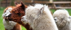 Four Alpacas, in panorama, a white alpaca in front of white and brown alpacas. Selective focus on the head of the white alpaca. photo of heads.