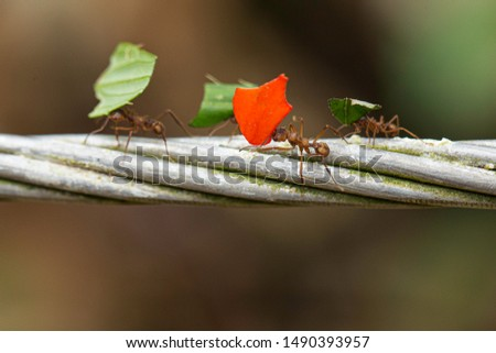 Four ants deliver small pieces of leaves on Metal wire stock photo