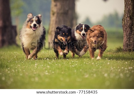 four Australian Shepherd running over the lawn