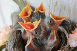 Four Baby American Robins in Nest with Beaks Open