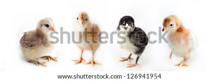 Four baby chicks on a white background