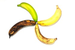 Four bananas - green underripe, ripe, very ripe and over ripe - on the white backgound. Banana ripeness. Concept of life cycle, ranging from young to old. Isolated.