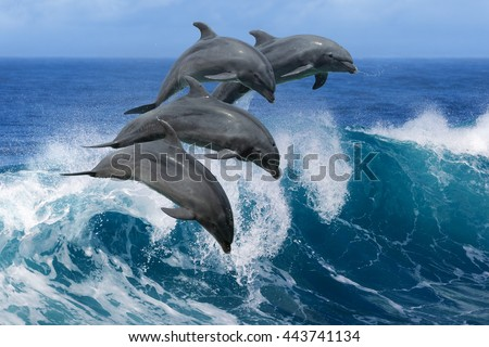 Four beautiful dolphins jumping over breaking waves. Hawaii Pacific Ocean wildlife scenery. Marine animals in natural habitat.