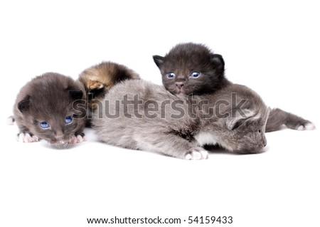 Four beautiful fluffy little kittens, lie on white background, isolated