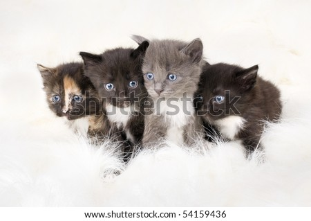 Four beautiful fluffy little kittens, sits on white fur background