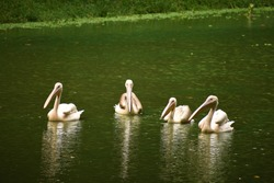 Four beautiful geese and storks are swimming on the water of a lake in Assam, India. Those are very large long legged and necked white waterbirds with long stout bills of several waterfowl species.