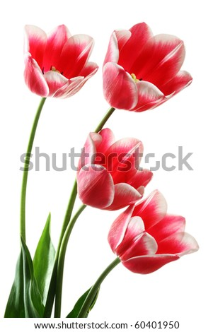 Four beautiful pink tulips on a white background. Clipping path
