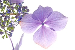 Four beautiful violet petals and many green and pink buds of hydrangea macrophylla flowerhead, isolated on white background. Natural backlit, translucent details, flower veins. Hortensia flower.
