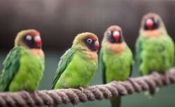Four black-cheeked love birds perched on a rope.