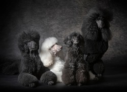 Four Black giant Poodle dog together in studio with black background