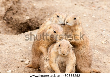 Four black-tailed prairie dogs.
