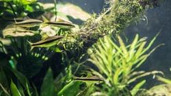 Four Blackline Rasbora Fish swimming between the algae