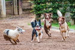 Four Border Collies, Collie purebred playing running in the mud