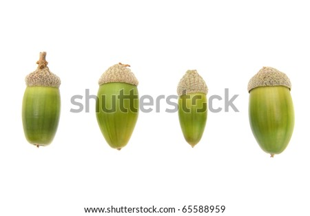 Four bright green acorns isolated on white background