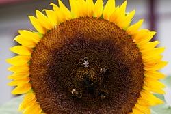 four bumblebees landing on a sunflower