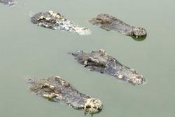 four crocodiles in a pond