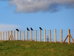 four crows on four posts