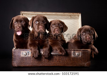 four cute chocolate puppies of Labrador Retriever amicably sitting in brown vintage leather suitcase on black background