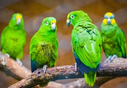 Four cute green parrots sitting on the tree branches behind the cage lattice looking sad in Colombia zoo with soft focus