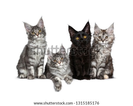 3d0cbc0843 Four cute Maine Coon cat kittens sitting   laying in a perfect row. All  looking