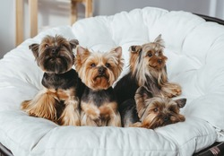 Four cute  Yorkshire Terrier on miniature couch sofa. Front view