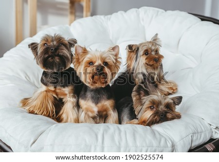 Four cute  Yorkshire Terrier on miniature couch sofa. Front view  Stock fotó ©
