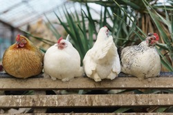 Four different chickens perch in a chicken coop. Disagreement