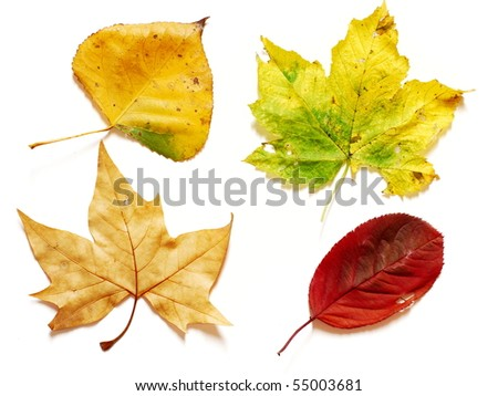 Four different shapes and colors in autumn leaves photographed on white background