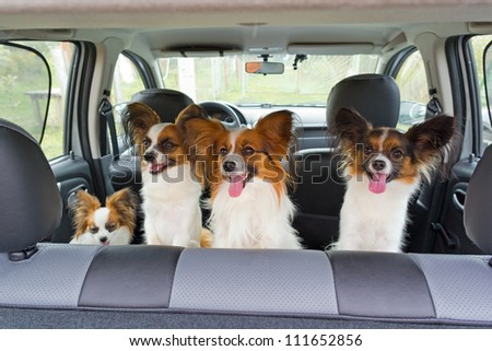 Four dogs of breed Papillon inside a car