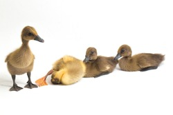 Four ducklings ( indian runner duck) isolated on a white background
