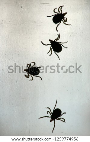 Four female Australian Paralysis Ticks(Ixodes holocyclus), crawling around on a vertical clear glass surface; taken in macro, with the arachnids in silhouette - helping to show their anatomy/motion.