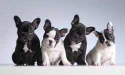 Four french bulldogs. Studio shot