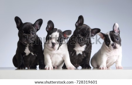 Four french bulldogs. Studio shot