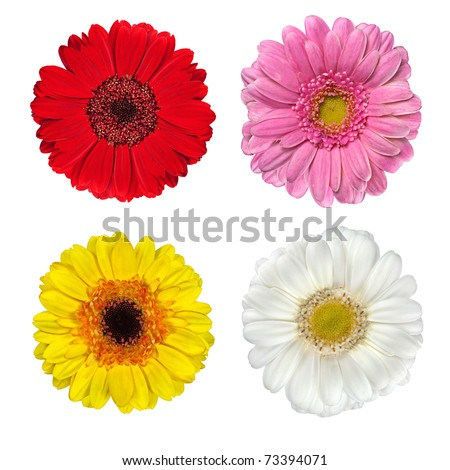 Four Fresh Red, Pink, Yellow and White Gerbera Flowers  Isolated on White Background
