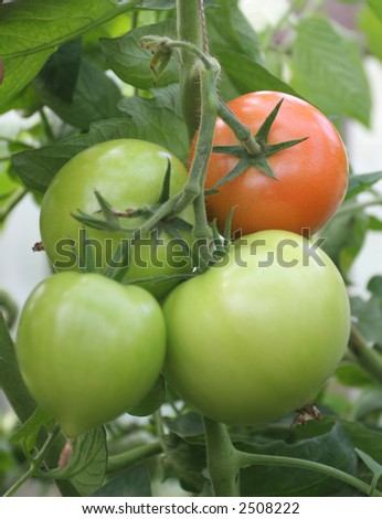 four fresh tomatoes in greenhouse (three green and one red)