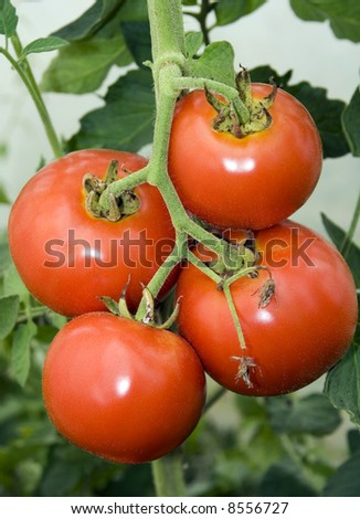 Four Fresh tomatoes on the branch