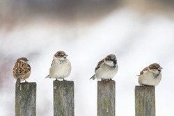 four funny birds Sparrow sitting on an old wooden fence and looking in different directions