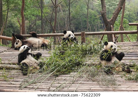 Four giant panda brothers