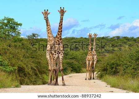 four giraffe in perfect forming