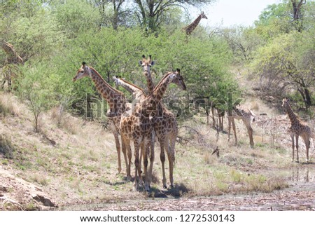 Four Giraffes forming a circle looking in different directions, other Giraffes in the bush veld background-Image