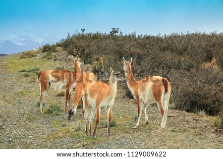 Four guanacos are walking near road. Torres del Paine national park. Altiplano, Chile. Patagonia