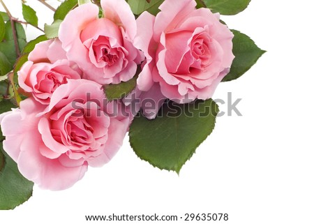 Four home grown petite pink roses  on white background with copy space, great for Mother's Day or Easter